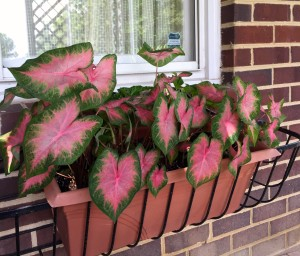 These are the caladium plants that I rescued from the rains. They have come back nicely, and are very happy in the window box under the deck.