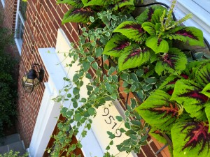 "I think these ""King Kong"" coleus in the window box above the door are my favorites of the summer-"
