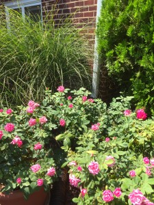 The knock out roses are in their third bloom already, and always are a classic fav!