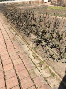 Here is a close up on the apple trees. February and early March are when the do a major pruning on them to keep them low, and easy to harvest