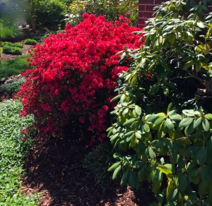 Rounding  the corner the azalea is in full bloom right now, underplanted with a sea periwinkle to move your eye around to what's next.