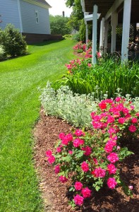 A view of the newly revamped back yard border. It now has flowers blooming almost all year.