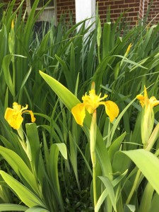 The yellow flag iris was glowing almost, and has increased to almost six feet in diameter. I love this variety because the foliage stays absolutely beautiful until frost in the autumn.