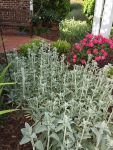 The lamb's ears is at it's peak, and will will look great the rest of the summer. I love how it's greenish white color makes the roses pop. Behind the rose the yarrow is starting to bloom. Yarrow is also a flower I love to grow for drying purposes.